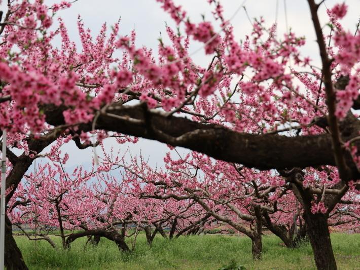 近在で撮った花たち (2021/4/3 5 8 撮影)_b0369971_17240719.jpg