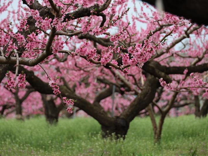 近在で撮った花たち (2021/4/3 5 8 撮影)_b0369971_17241703.jpg