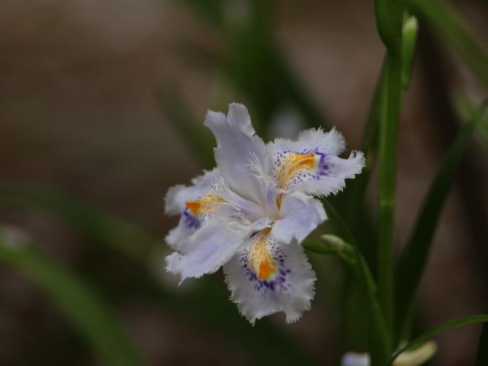 近在で撮った花たち (2021/4/3 5 8 撮影)_b0369971_17293187.jpg