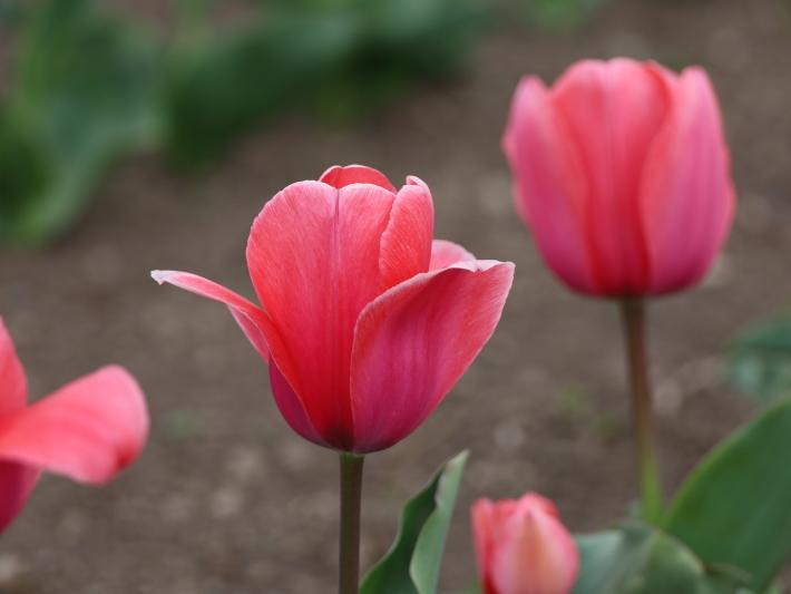 近在で撮った花たち (2021/4/3 5 8 撮影)_b0369971_17332918.jpg