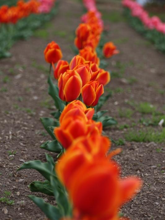 近在で撮った花たち (2021/4/3 5 8 撮影)_b0369971_17333985.jpg
