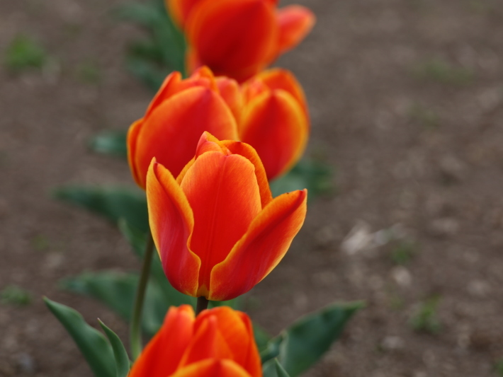 近在で撮った花たち (2021/4/3 5 8 撮影)_b0369971_17334894.jpg