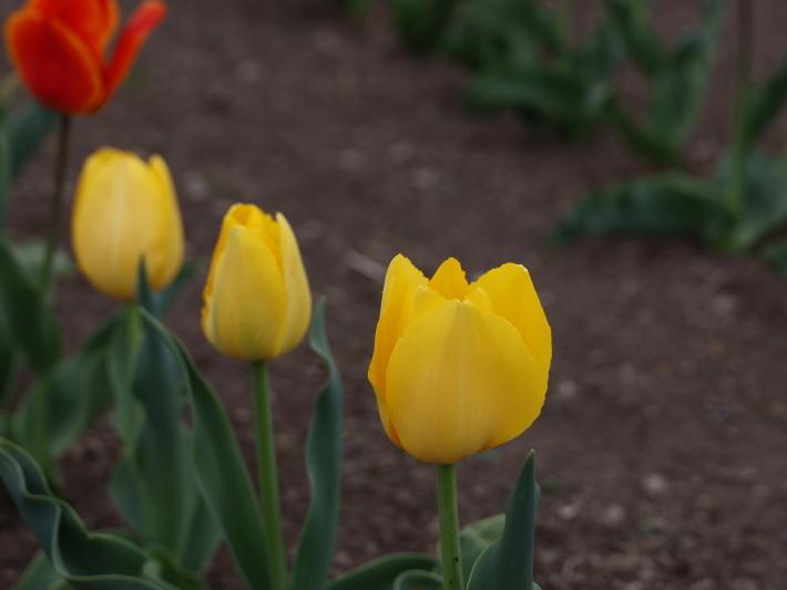 近在で撮った花たち (2021/4/3 5 8 撮影)_b0369971_17335806.jpg