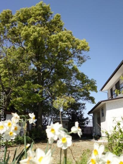 わが家の大きなシンボルツリーと庭しごとの悩み_c0293787_10280755.jpg