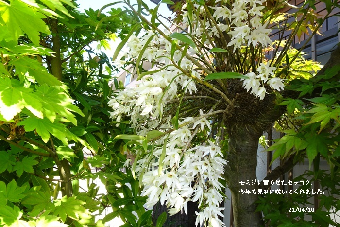八重の桜 _c0051105_22162185.jpg