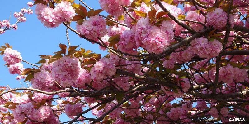 八重の桜 _c0051105_22183861.jpg