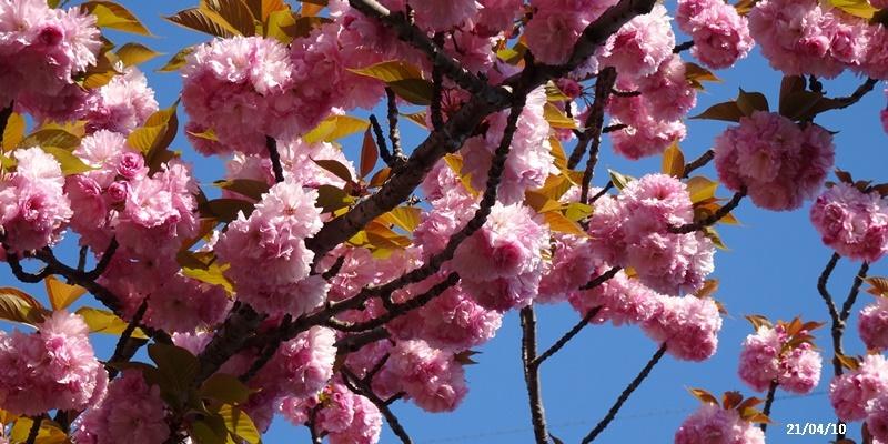八重の桜 _c0051105_22211894.jpg