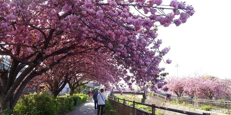 八重の桜 _c0051105_22214759.jpg