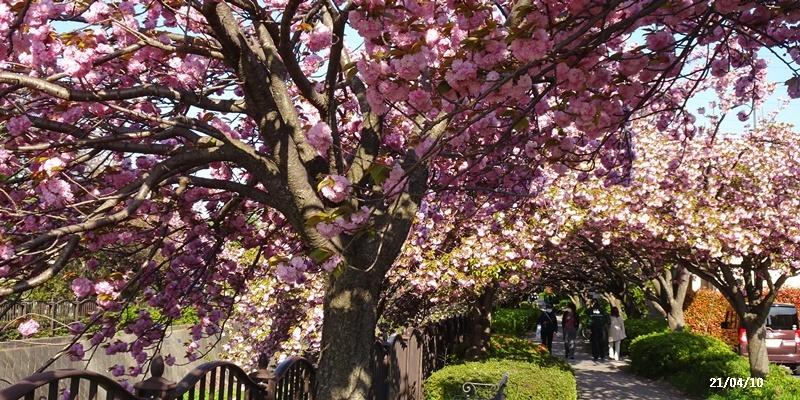 八重の桜 _c0051105_22235672.jpg