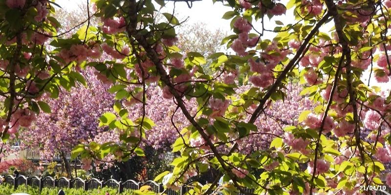 八重の桜 _c0051105_22283525.jpg
