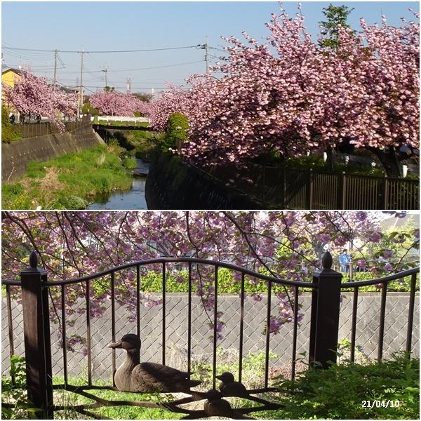 八重の桜 _c0051105_22294631.jpg