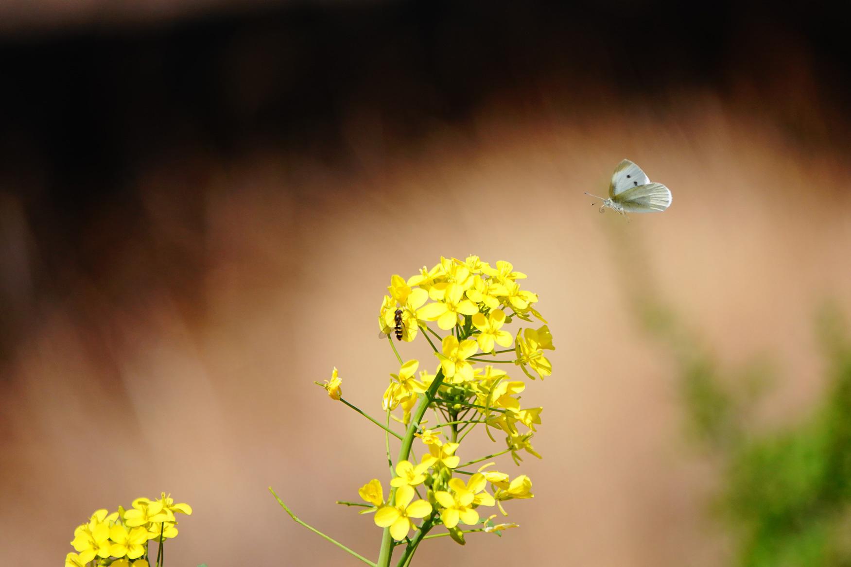 菜の花で戯れる蝶々_e0291438_12202733.jpg