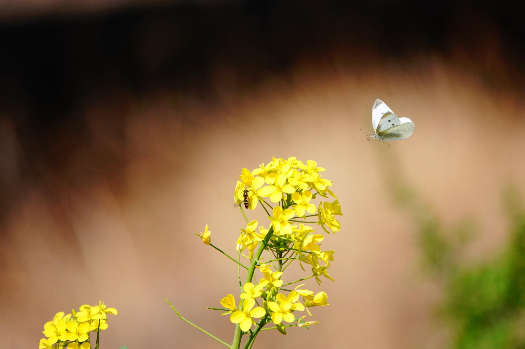 菜の花で戯れる蝶々_e0291438_12205393.jpg