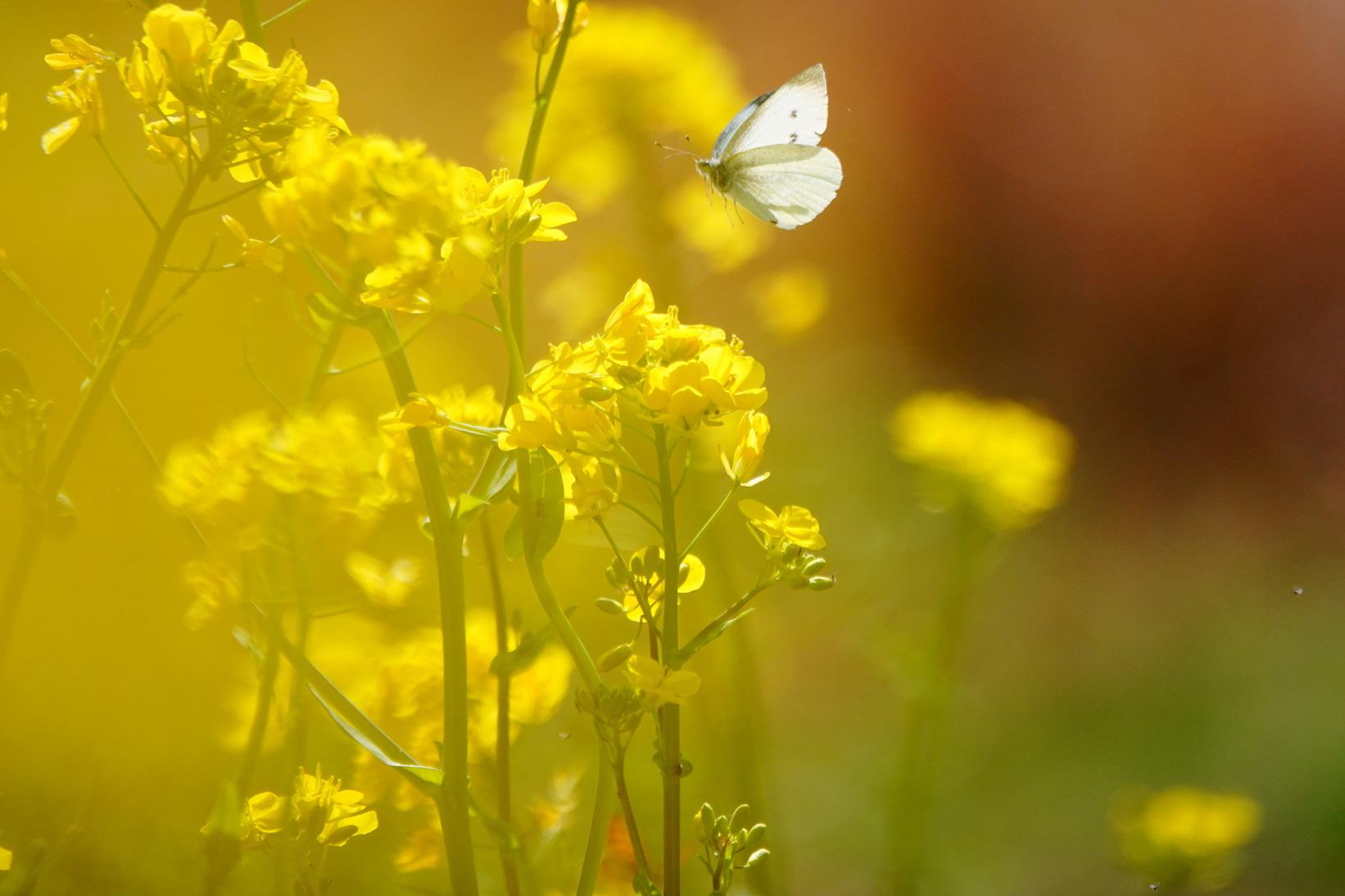 菜の花で戯れる蝶々_e0291438_12211302.jpg