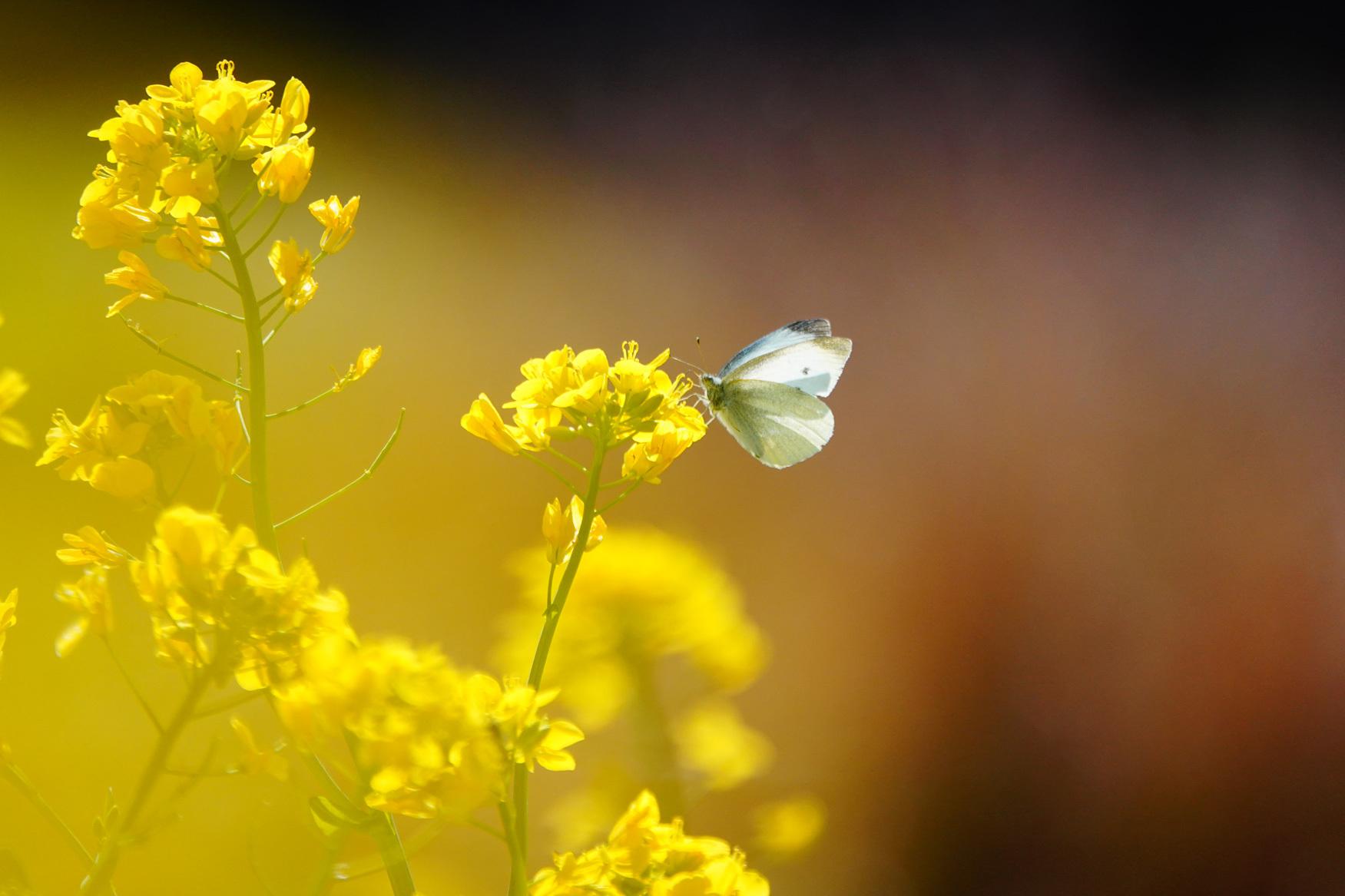 菜の花で戯れる蝶々_e0291438_12213443.jpg