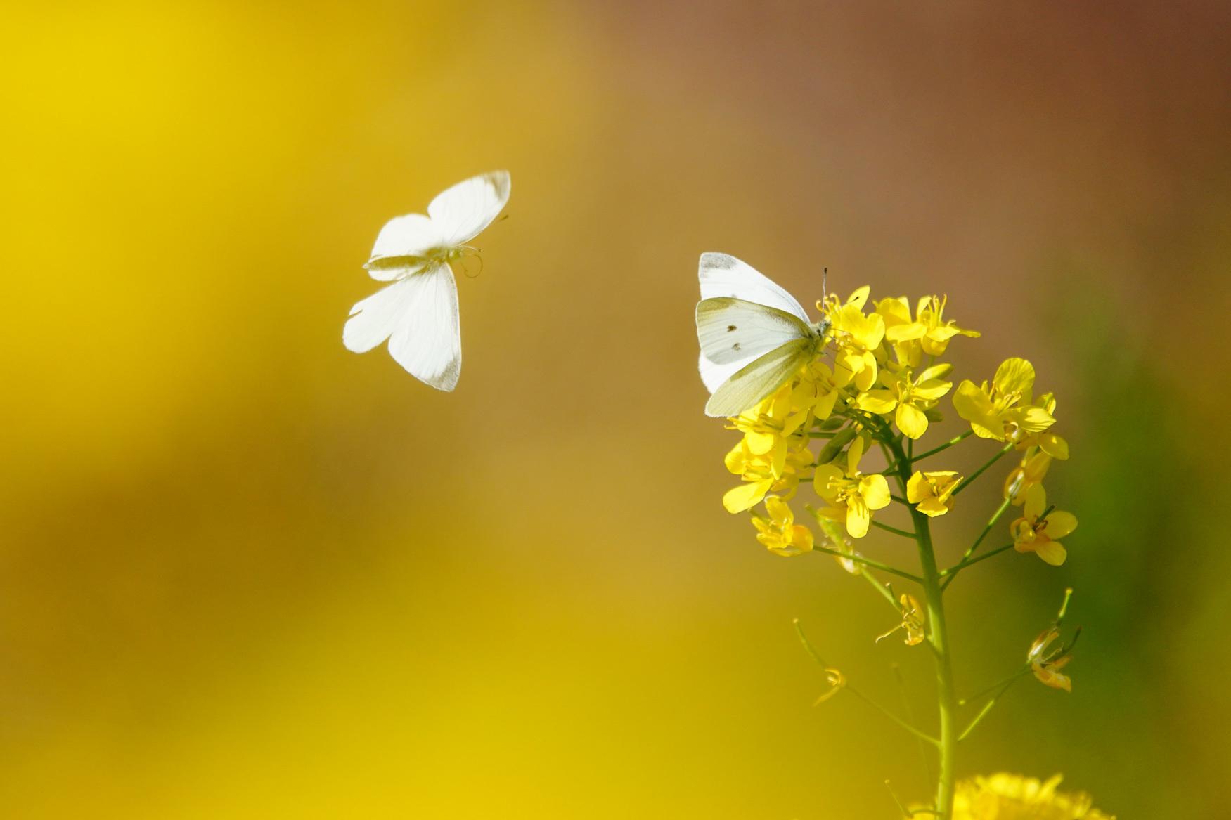 菜の花で戯れる蝶々_e0291438_12215185.jpg