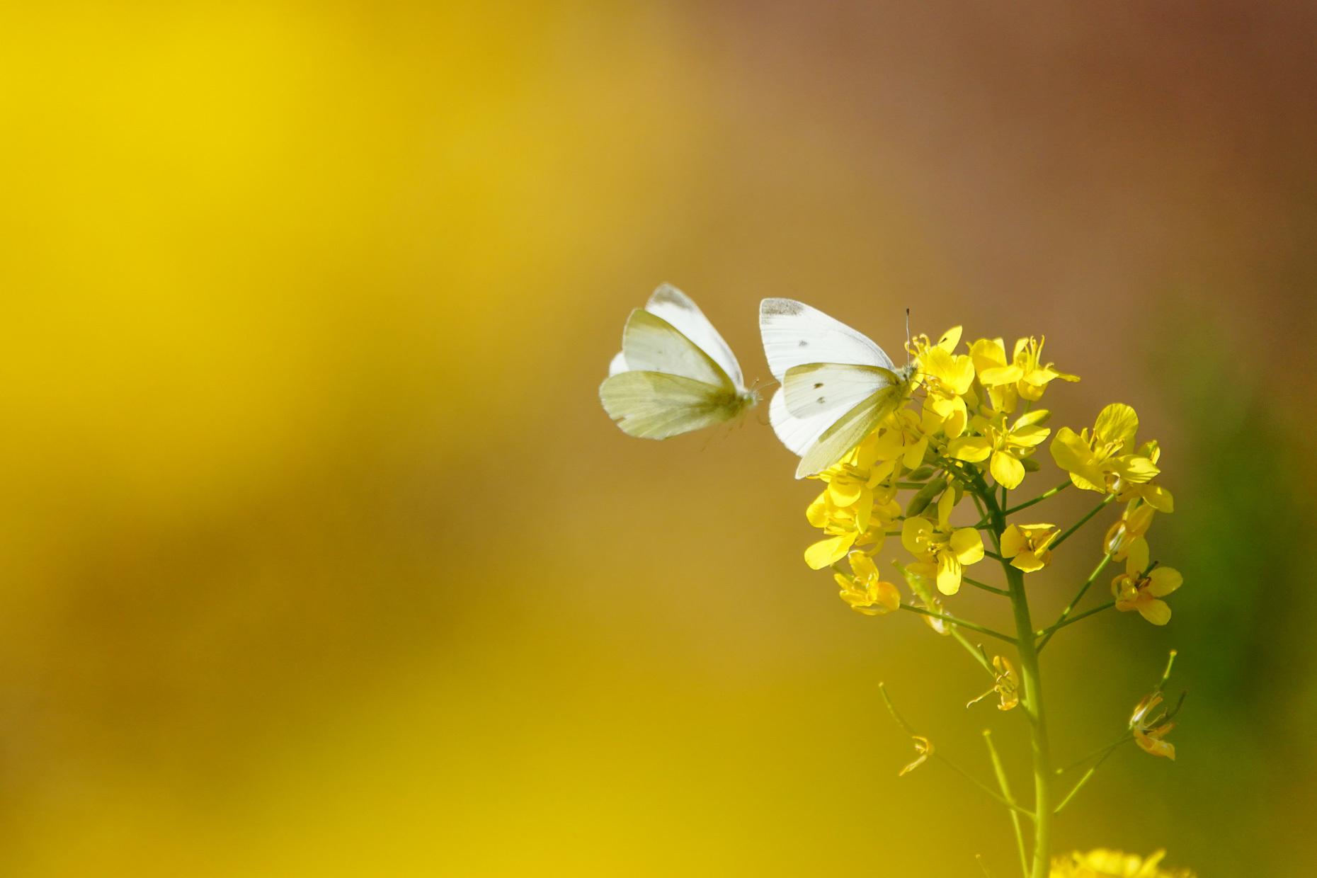 菜の花で戯れる蝶々_e0291438_12220776.jpg