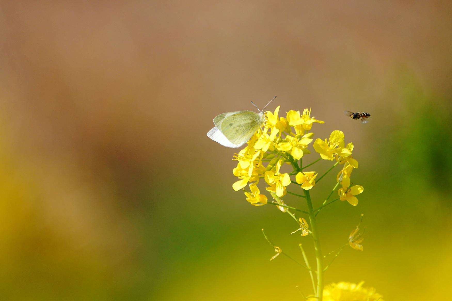 菜の花で戯れる蝶々_e0291438_12222313.jpg