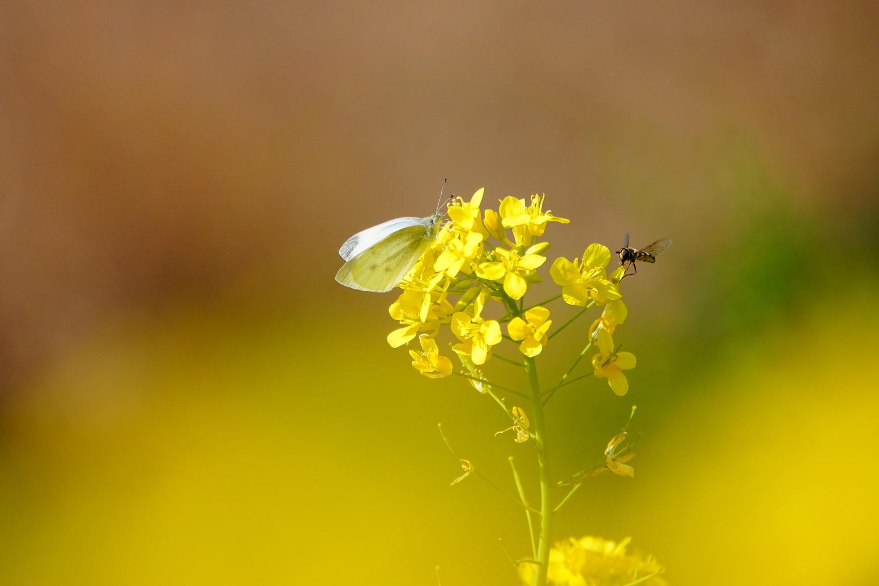 菜の花で戯れる蝶々_e0291438_12225113.jpg