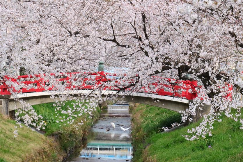 唐沢川の桜とサギ_e0291438_13462716.jpg