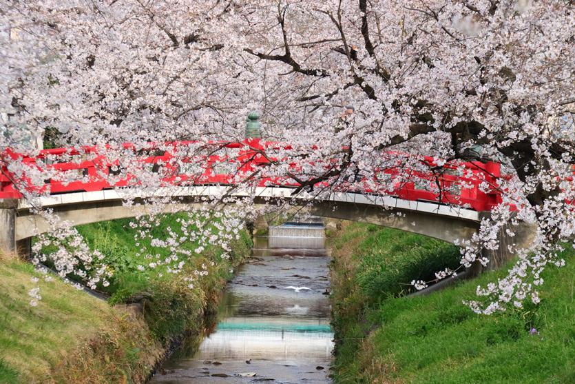 唐沢川の桜とサギ_e0291438_13474899.jpg