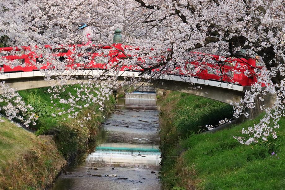 唐沢川の桜とサギ_e0291438_13480789.jpg
