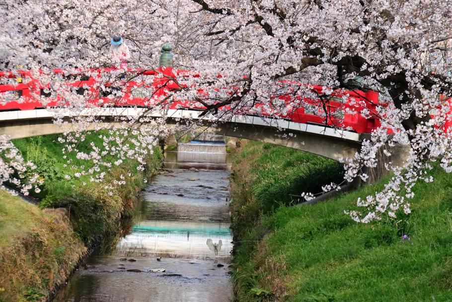 唐沢川の桜とサギ_e0291438_13483021.jpg