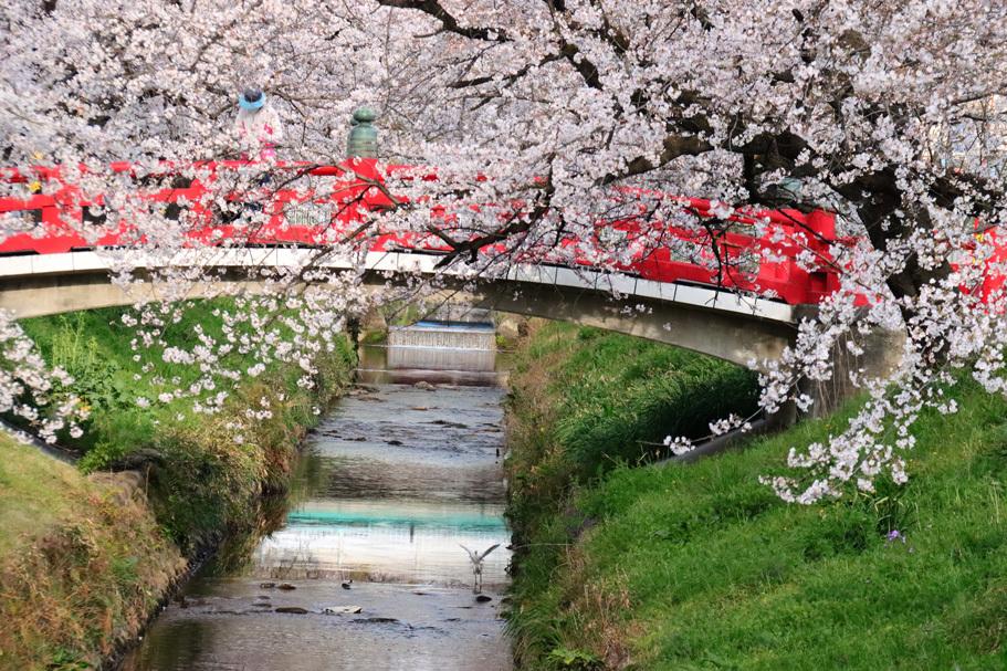 唐沢川の桜とサギ_e0291438_13485467.jpg