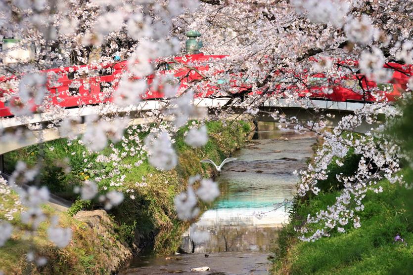 唐沢川の桜とサギ_e0291438_13492192.jpg