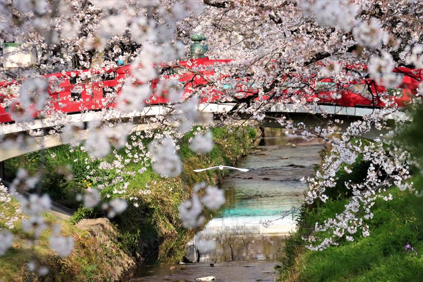 唐沢川の桜とサギ_e0291438_13502171.jpg