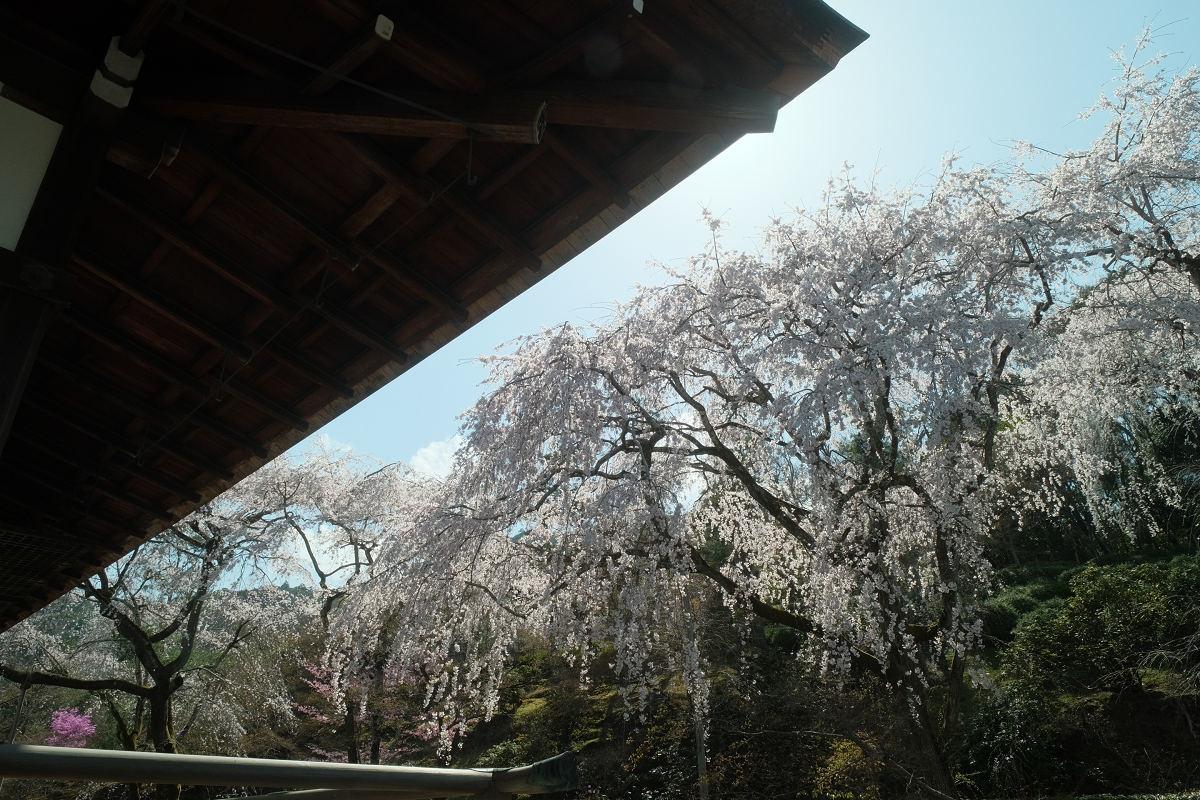京都 桜 2021_f0021869_17052814.jpg