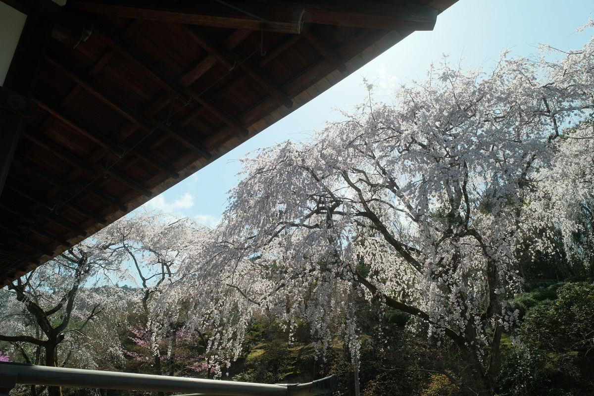 京都 桜 2021_f0021869_17055220.jpg