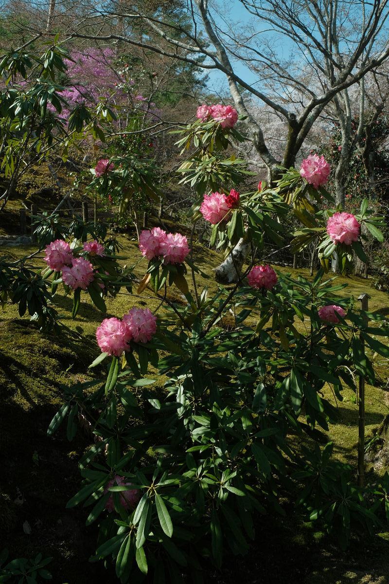 京都 桜 2021_f0021869_17064035.jpg