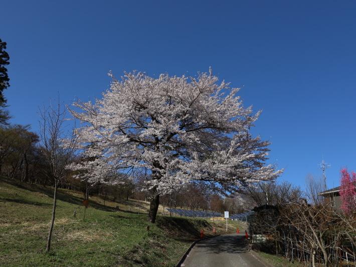桜だより(22) ~山桜と辛夷~ (2021/4/5撮影)_b0369971_14340257.jpg