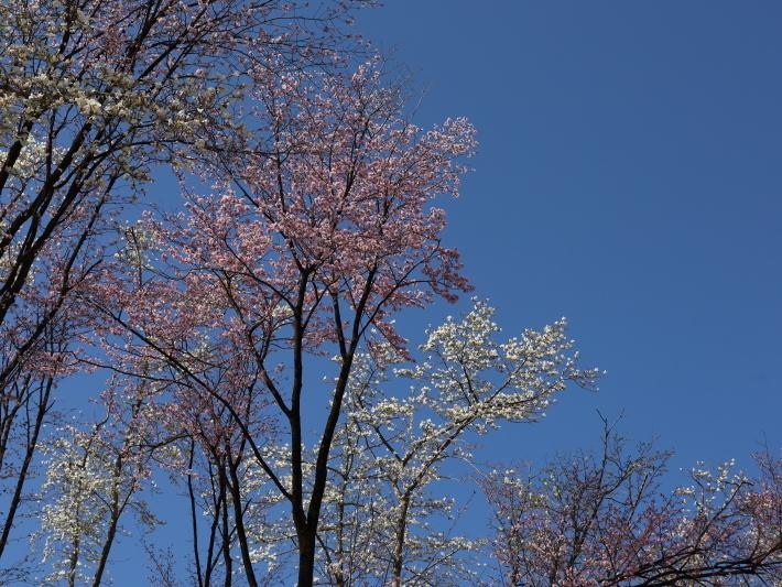 桜だより(22) ~山桜と辛夷~ (2021/4/5撮影)_b0369971_14350582.jpg