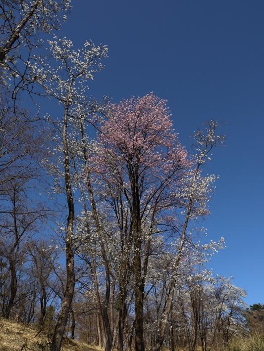 桜だより(22) ~山桜と辛夷~ (2021/4/5撮影)_b0369971_14351515.jpg