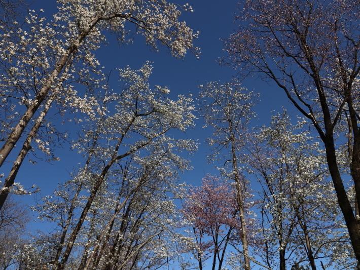 桜だより(22) ~山桜と辛夷~ (2021/4/5撮影)_b0369971_14353869.jpg