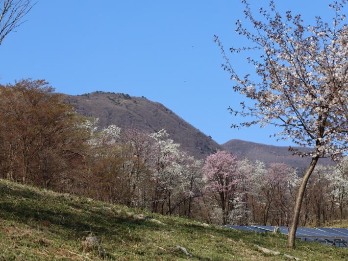 桜だより(22) ~山桜と辛夷~ (2021/4/5撮影)_b0369971_14355182.jpg