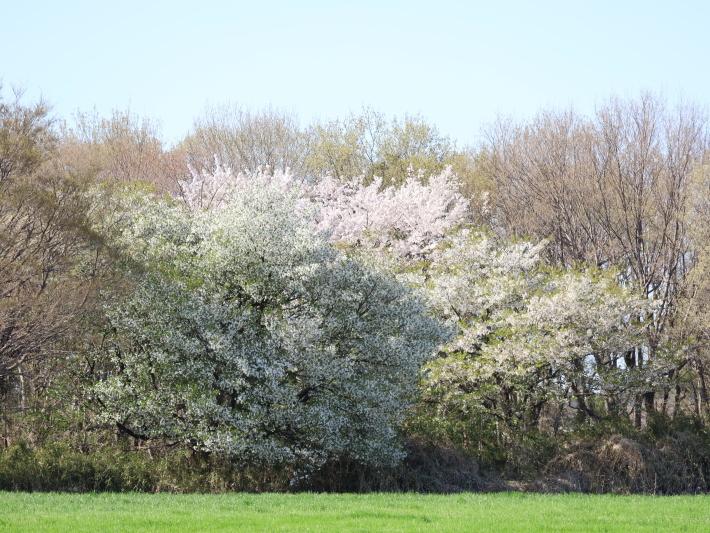 桜だより(22) ~山桜と辛夷~ (2021/4/5撮影)_b0369971_14362560.jpg