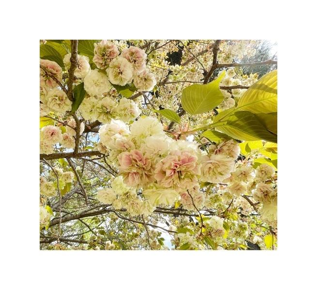 黄色い桜_b0134673_20571996.jpeg