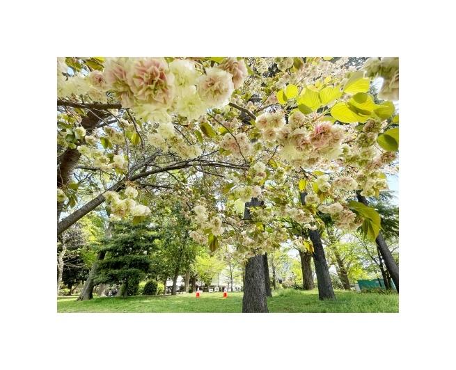 黄色い桜_b0134673_21042675.jpeg