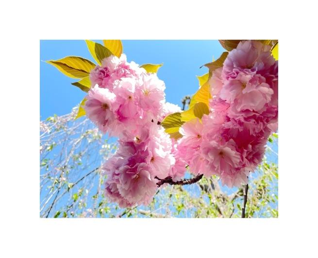 黄色い桜_b0134673_21100884.jpeg