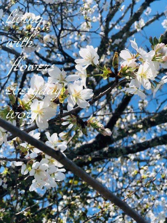 "\""IVORY桜\""開花しました〜♬_b0094378_13262521.jpeg"