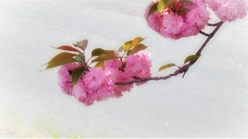 幼馴染の「八重子」ちゃん_c0357781_10010165.jpg