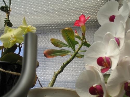 砂漠の薔薇/アデニウムが開花した!_c0180691_10322608.jpg