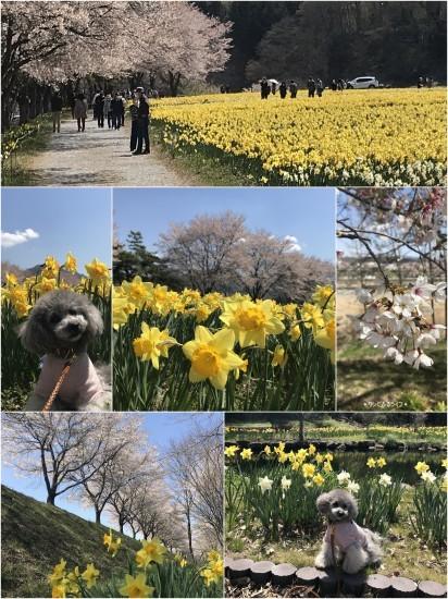 * 水仙と桜の共演とは贅沢だ *_d0317115_19512042.jpg
