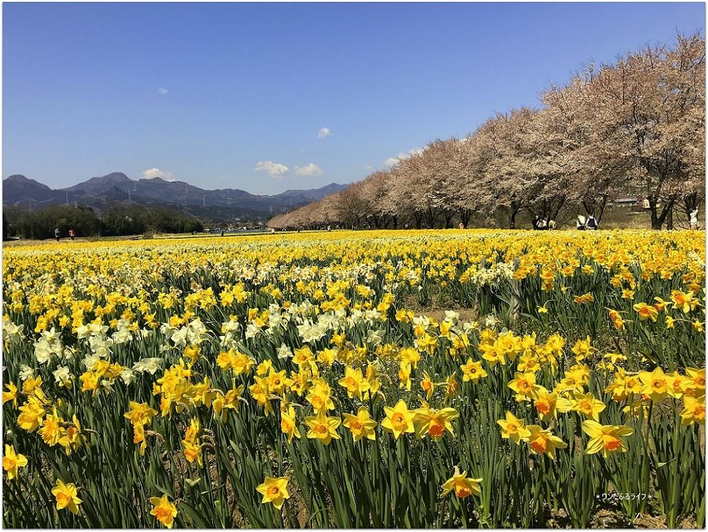 * 水仙と桜の共演とは贅沢だ *_d0317115_19534050.jpg