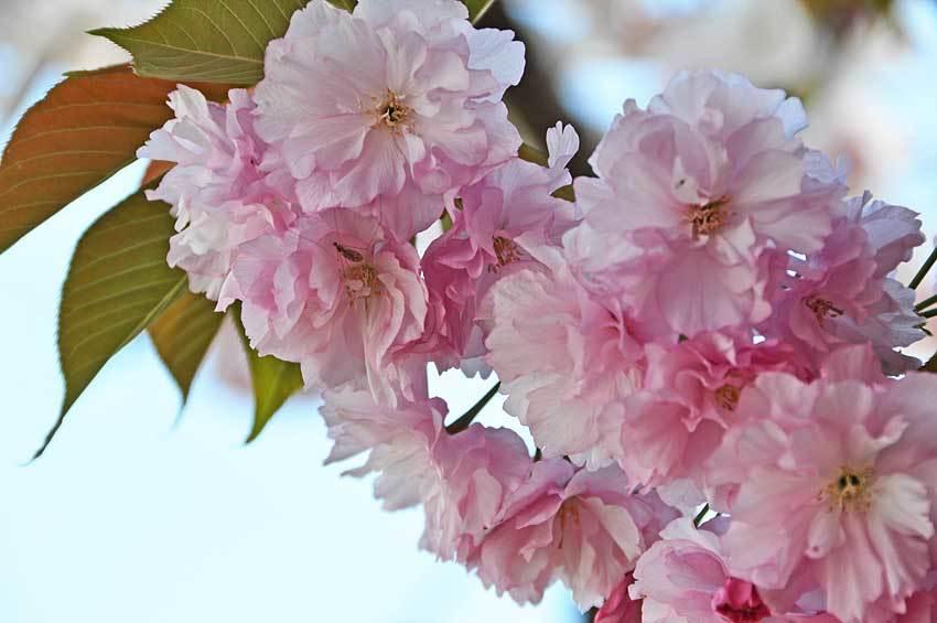 2021.04.11 八重桜たち_c0016718_17134855.jpg