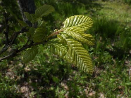 春。はっぱが光ります。生長します。_a0123836_16403081.jpg