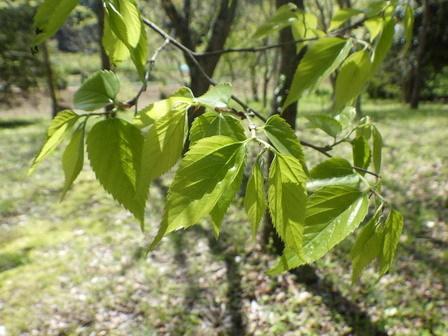 春。はっぱが光ります。生長します。_a0123836_16403094.jpg